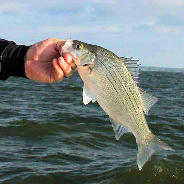 Lake Ray Roberts Sand Bass Fishing Guides